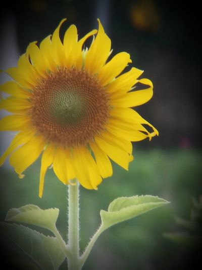 Beauty In Nature Close-up Flower Flower Head Flowering Plant Focus On Foreground Freshness Growth Leaf No People Outdoors Plant Sunflower Yellow