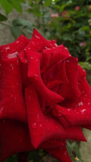 Rainy red rose
