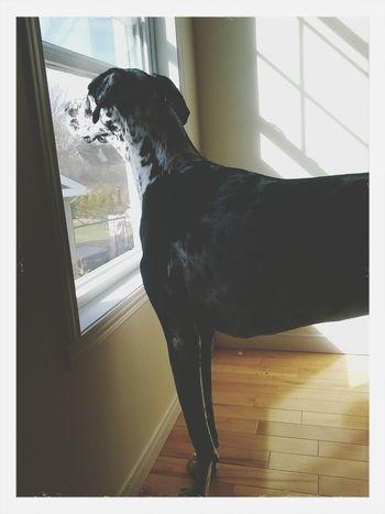 Greatdane Doglovers Dog Mybeautifuldog