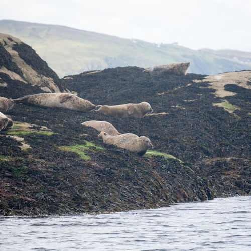 Seal Colony off the Shore of Loch Coruisk Scotland Boat Ride Colony Day Daylight Isle Of Skye Loch Coruisk Nature No People Outdoors Relax Rest Resting Sea Seal Sealion  Shore Sleep Summer Water