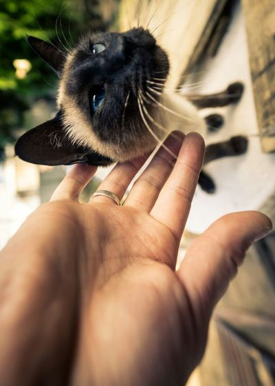 Cropped image of person stroking siamese cat