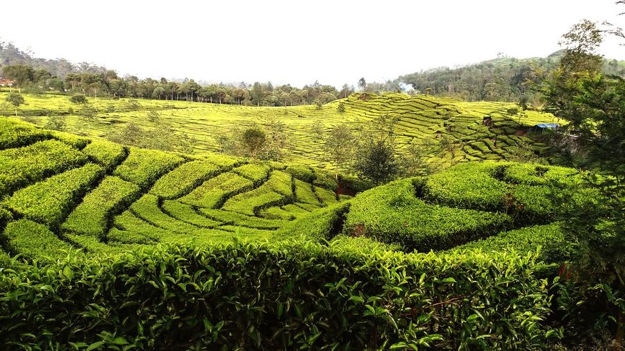 This is the tourist spot of west java indonesia Indonesian Tree Tea Crop Rural Scene Agriculture Field Crop  Sky Grass Green Color Landscape Farm Farmland Plantation Stalk First Eyeem Photo Scarecrow Vineyard Rice - Cereal Plant Grass Area Ho Chi Minh City Asian Style Conical Hat Grassland Tea Leaves Rice Paddy Matcha Tea Blade Of Grass Lush Foliage Cultivated Land Green Tea