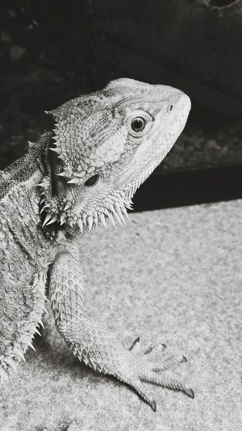 Lizard Friend Beardeddragon There Be Dragons Blackandwhite