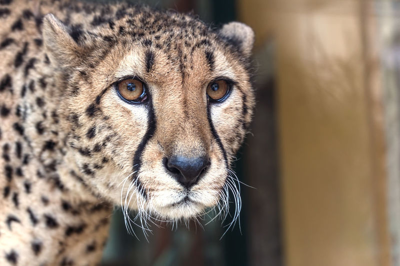 Cheetah Animal Animal Themes Animal Wildlife Animals Big Cat Big Cats Cat Cats Cheetah Cheetahs Safari Safari Animals Wildlife Wildlife & Nature Zoo Zoo Animals  Zoo Photography  ZOO-PHOTO Zooanimals ZooLife Zoology Zoophotography