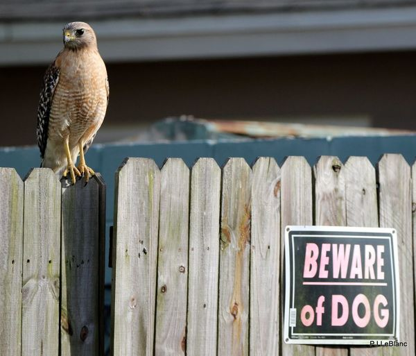 Taking Photos Hi! Florida Bird Hawk Waiting For Our Dog