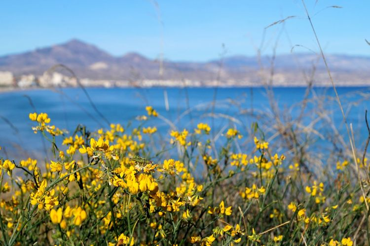 Flower Yellow Nature Tranquil Scene Plant Landscape Scenics Tranquility Day Growth No People Outdoors Springtime Beauty In Nature Rural Scene Mountain Sea Alicante Water Nature Mediterranean Sea Colors Of Nature Focus On Foreground Cabolahuerta Naturalflower