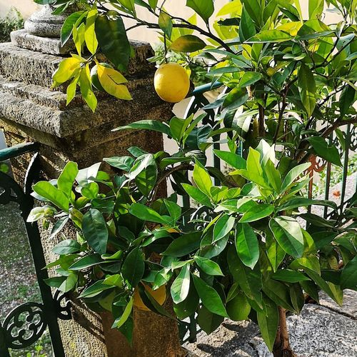 Tree Fruit Leaf Hanging Branch Yellow Citrus Fruit Agriculture Close-up Food And Drink Lemon Tree Lemon Cultivated