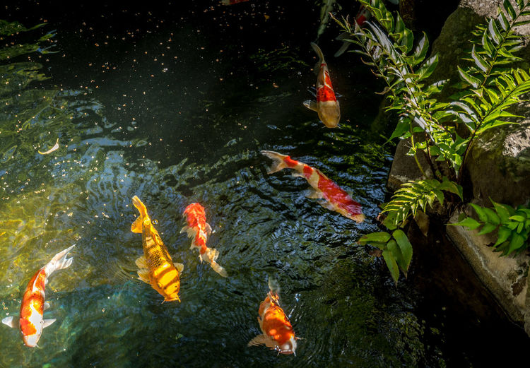 Koi carps swimming in a water garden, Tokyo Fish Feeding Love Shrine Stillness Tranquility Affection Animal Animal Themes Beliefs Carp Fish Friendship High Angle View Koi Carp Nature No People Outdoors Pond Religion School Of Fish Symbol Underwater Water Water Garden  Zen