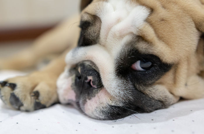 English bulldog puppy : Bulldog English Bulldog Mammal One Animal Dog Canine Animal Themes Domestic Pets Animal Domestic Animals Relaxation Animal Body Part Close-up Lying Down Vertebrate No People Resting Sleeping Animal Head  Indoors  Portrait Small Animal Nose Animal Eye