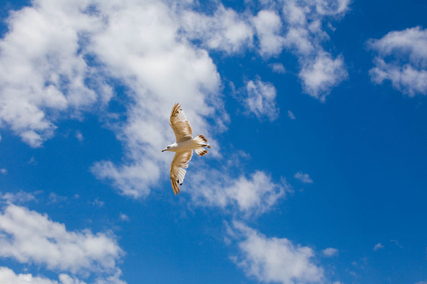 White and brown sea bird flying in cloudy blue sky. Animal Animal Themes Animal Wildlife Animals In The Wild Bird Blue Cloud - Sky Day Flying Low Angle View Mid-air Motion Nature No People One Animal Outdoors Plane Seagull Sky Spread Wings Sunlight Vertebrate