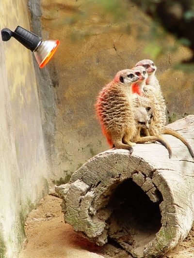 Rock - Object One Animal Animals In The Wild Animal Wildlife Day Animal Themes No People Meerkat Mammal Nature Outdoors I Want To Know Your Secret, C I Always Thinking About U, G Thank You,❤️ 감사합니다