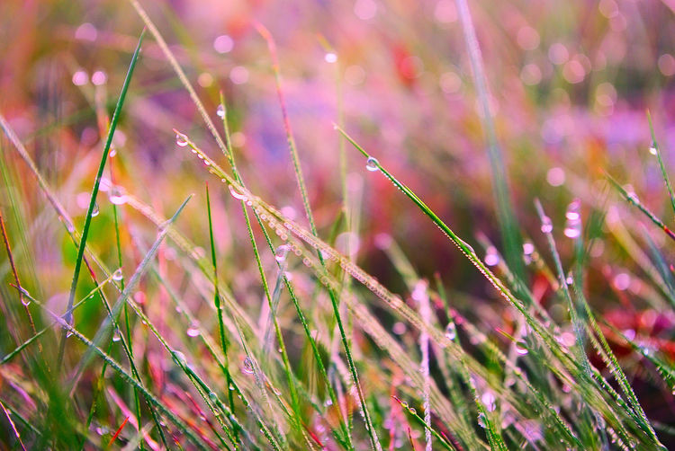Beauty In Nature Blade Of Grass Close-up Day Dew Focus On Foreground Fragility Freshness Grass Green Color Growth No People Outdoors Plant Purple Selective Focus Tranquility Vulnerability