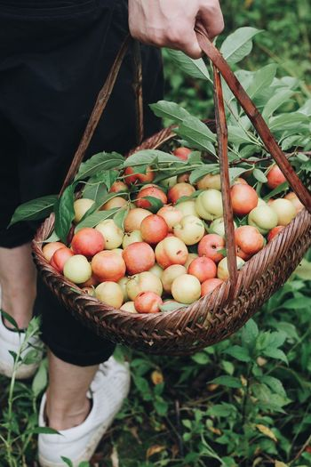 Low section of person holding apples in basket