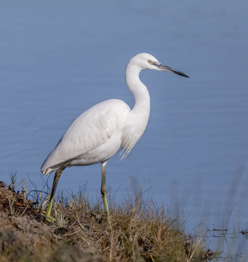 Egret walking.