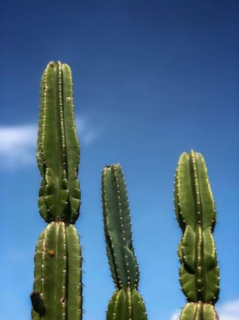 Cactus on a beautiful day Cactus Succulent Plant Green Color Growth Plant Sky Beauty In Nature Thorn Blue Sunlight Low Angle View No People Sharp Nature Spiked Clear Sky Day Tranquility Copy Space Saguaro Cactus