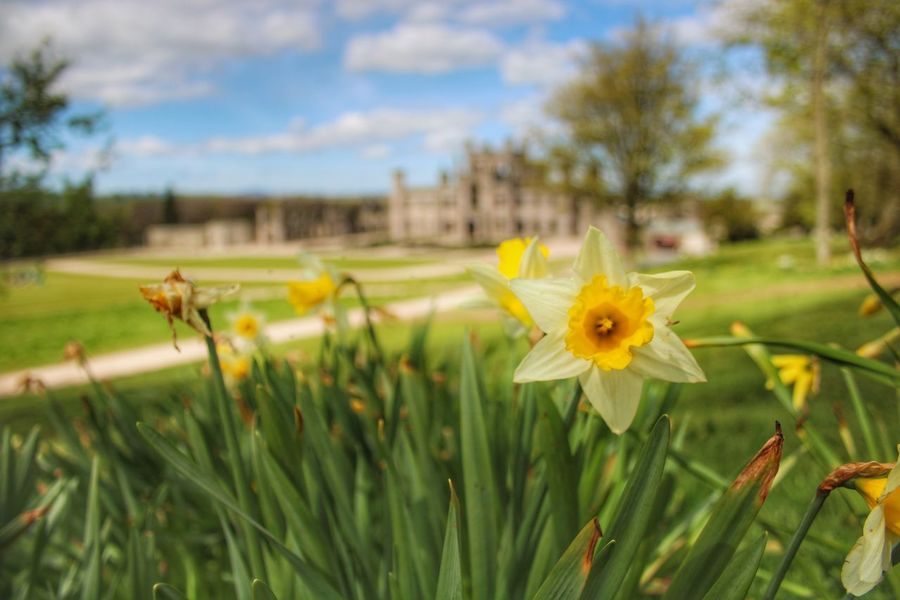 Flower Nature Yellow Plant Outdoors Day Close-up Beauty In Nature Flower Head Daffodils Lowther Castle Castle Photography