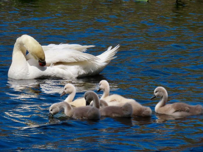 Swan family outing Birds of EyeEm swimming water ripples cygnets mute swans close up outdoors Animal Themes Group Of Animals Animal Family No People