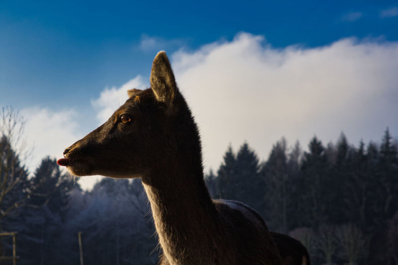 One Animal Animal Themes Animal Sky Mammal Domestic Animals Nature Cloud - Sky Domestic Vertebrate Pets Tree No People Land Focus On Foreground Livestock Looking Plant Animal Wildlife Animal Head  Herbivorous
