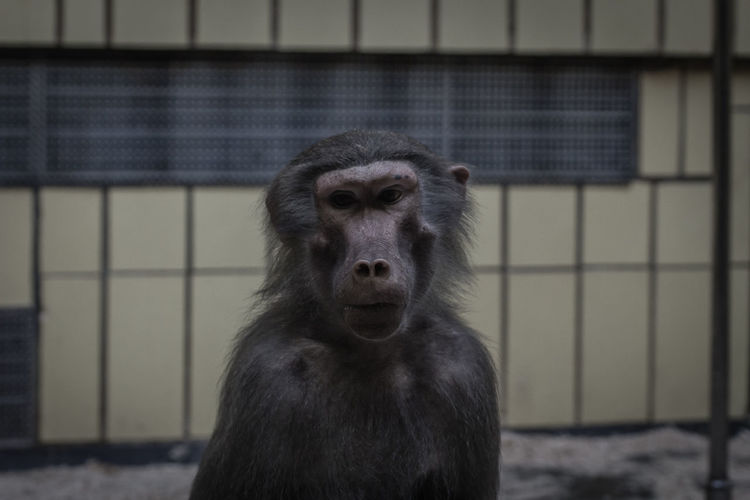 Animal Themes Animals In Captivity Baboon Baboon Portrait Close-up Focus On Foreground Monkey Monkeys One Animal Primate Zoo Zoo Zoo Animals  ZooLife Zoology Zoophotography