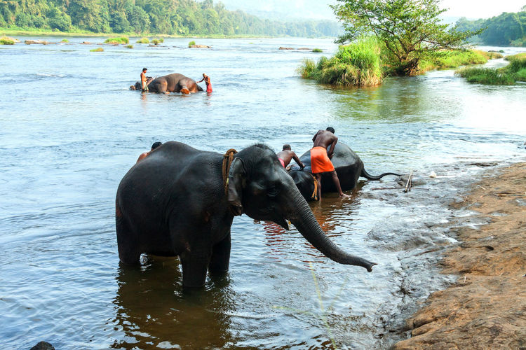 Mahouts bathing Elephants in river Bathing Animals Asian  Beauty In Nature Day Destination Elephants Bathing Famous Place India Kerala Lake Leisure Activity Mahouts Mammal Nature Outdoors Rippled River Riverside Tourism Travel Water People And Places
