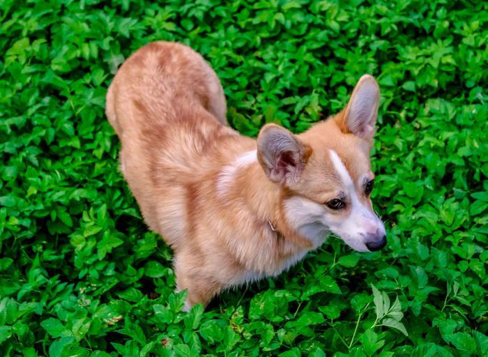 Photos of an emotional pembroke welsh corgi dog., walk, close-up and portrait photography