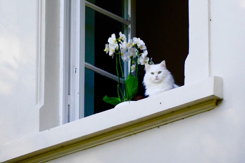 Low angle view of white cat by orchids on window sill