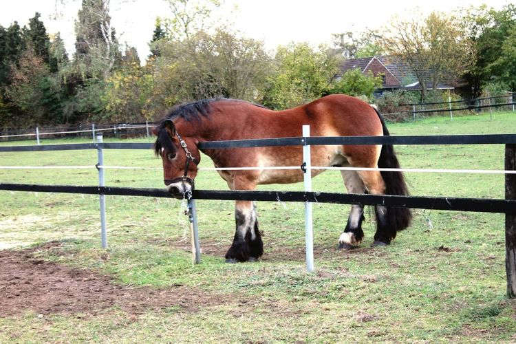 Draft Horses Renish German Coldblood Drafthorse Horse Photography  Horse Tree Standing Paddock Horse Sky Grass Livestock