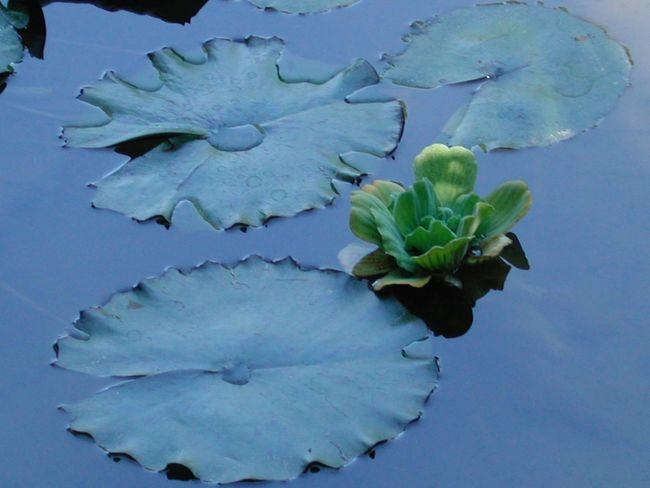 Beauty In Nature Blue Close-up Day Floating On Water Flower Fragility Freshness Green Color Growth High Angle View Leaf Nature No People Petal Plant R.tullis Reflection Tranquility Water White Color