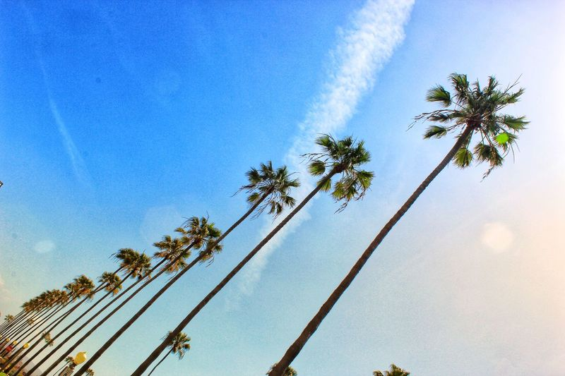 Palm trees Low Angle View Tree Sky Day No People Nature Outdoors Beauty In Nature Palm Tree Blue California Dreamin California Dreamin California Dreamin
