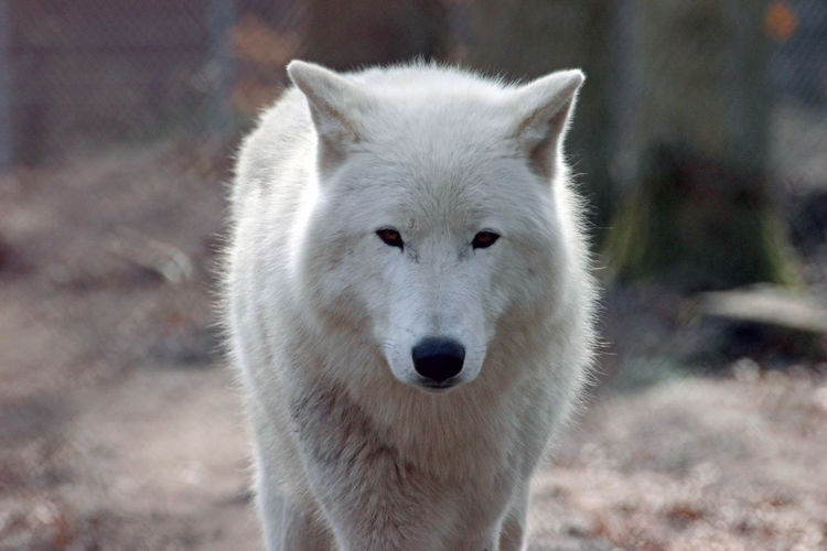 Exceptional Photographs Nature EyeEm Best Shots EyeEm Nature Lover Outdoors Wildpark Alte Fasanerie Animal Themes Animal Wildlife Animals In The Wild No People One Animal Outdoors Portrait White Wolf Wolf