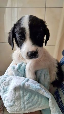 Puppy Dog Domestic Animals Young Dog Bath Puppy Portrait Indoors  Portrait Dog Looking At Camera