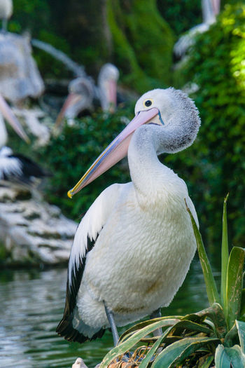 Close-up of pelican perching on lake