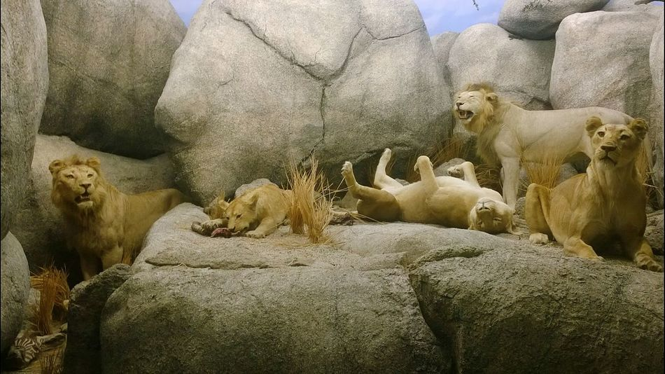 Museum Display Lions Pride Exhibition