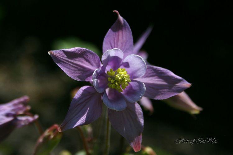 Aquilegia In My Garden Flowerporn Efflorescence EyeEm Best Shots - Flowers Flowerporn Flowers Eyem No Filter Noedit #nofilter Eyem Flowers
