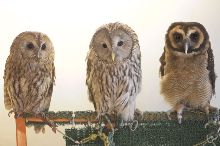 Owl Owls Birds
