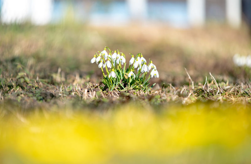 spring time Spring Flowers Flower Flower Head Close-up Grass Plant Snowdrop In Bloom Plant Life Botany Blossom Pollen Petal Blooming
