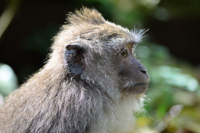 Balinese long-tailed monkey - Macaca - Macaque. Animals Posing Animal Themes Animal Wildlife Animals In The Wild Balinese Close-up Cute Animals Day Focus On Foreground Long Tailed Macaque Macaque Mammal Monkey Nature No People One Animal Outdoors Primate Ubud
