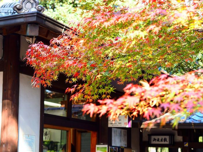 Nature No People Outdoors Beauty In Nature Colored Leaves Tokyo,Japan Leaf Japanese Garden Red Momiji Mukoujima Autumn