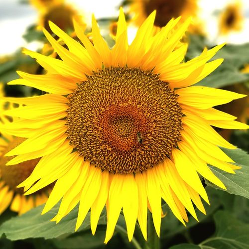 Flower Yellow Petal Fragility Beauty In Nature Flower Head Nature Freshness Growth Plant Pollen Close-up Sunflower Outdoors Blooming No People Day