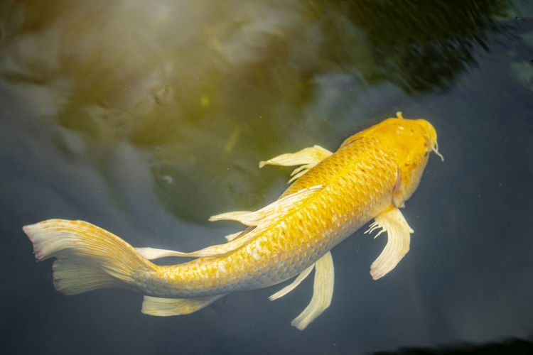 Cranberry fish are in the pond. Pond Animal Animal Themes Animal Wildlife Animals In The Wild Close-up Cranberry Fish Goden Gold Fish Group Of Animals Marine Nature No People Outdoors Sea Sea Life Swimming Underwater Vertebrate Water Yellow