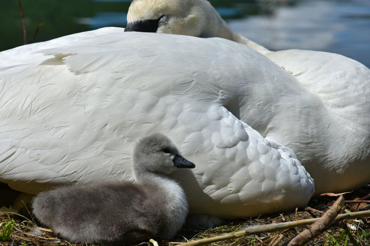Close-Up Of Cygnet By White Swan