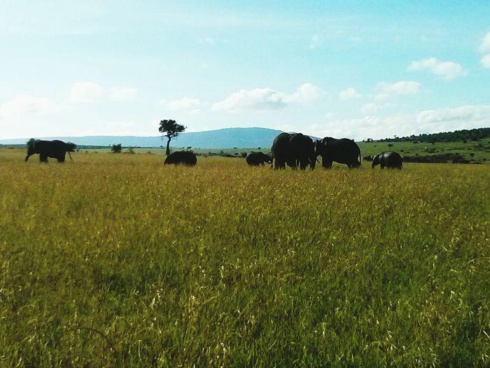 Elephants in