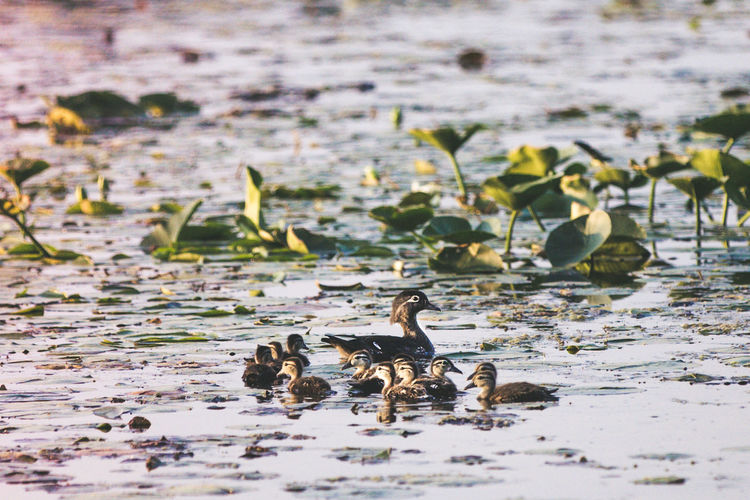 Baby Birds Baby Ducks Mother Mother Duck Mother Nature Wood Duck  Animal Animal Family Animal Themes Animal Wildlife Animals In The Wild Beauty In Nature Bird Day Duck Family Gosling Group Of Animals Lake Large Group Of Animals Mom Mother Duck With Duckling Nature Water Young Animal Young Bird