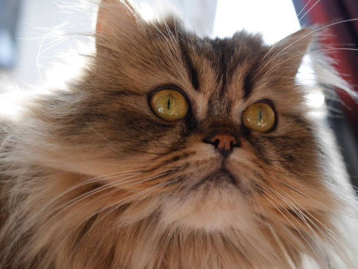 クロエ。モフモフしています。 Alertness Animal Eye Animal Head  Animal Themes Cat Chinchilla Chinchilla Persian Close-up Curiosity Domestic Animals Domestic Cat Feline Golden Home Indoors  Mammal One Animal Persiancat Pets Portrait Relaxation Relaxing Whisker