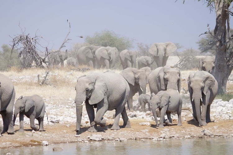 View of elephants drinking water in lake