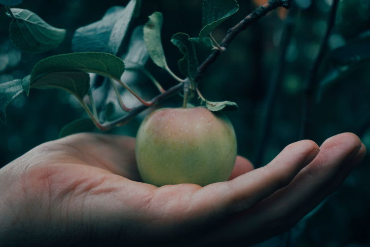 Cropped Hand Holding Growing Apple On Tree