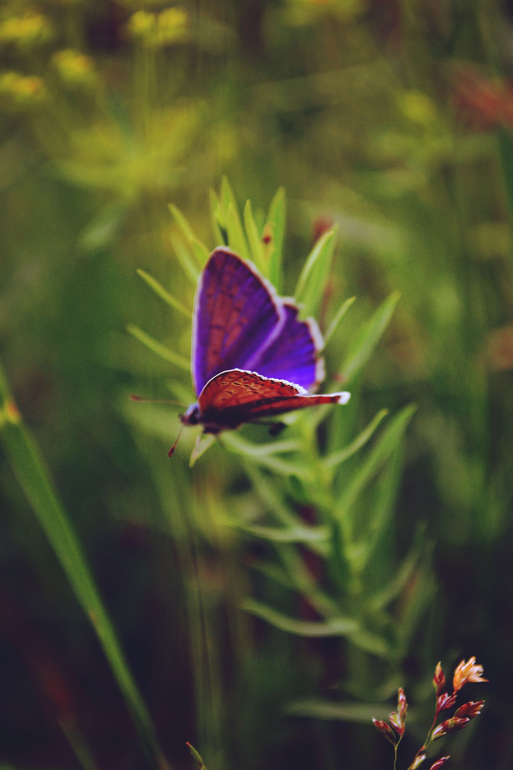 one animal, animals in the wild, insect, animal themes, wildlife, flower, butterfly - insect, fragility, butterfly, plant, purple, close-up, growth, beauty in nature, nature, focus on foreground, leaf, freshness, selective focus, pollination