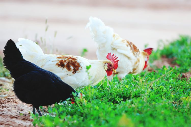 Chickens On The Farm Animal Themes Agriculture Livestock Farm Animals Domestic Animals Farm Life Chicken - Bird Poultry Rural Scene Animal Rooster Feather  Eating Foraging Outdoors Flock Of Chickens Hens And Chickens