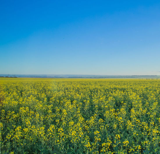 Tranquil view of flower field against clear sky