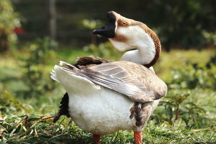Goose Chinese Gooses Bird Animal Outdoors